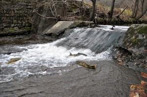 古い取水堰。落差が小さい堰だが、遡上するために必要な深さがないので、サケはそれ以上、上流へ上ることはできない。