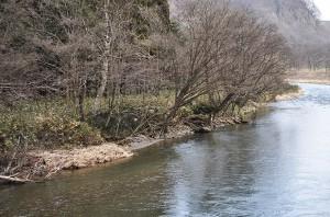 川岸が下がり、なだらかな渚帯が失われて、河畔林は基礎の土が失われて根っこがむき出しになり、前のめりに傾いている。やがて増水で木は倒れ込み、流れ出すことになる。