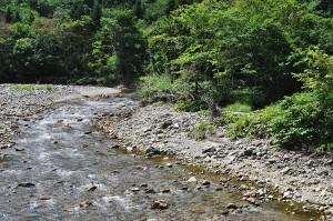 蛇行し、流れが弱まるところには大量の微細な砂やシルトが堆積している。対岸の河畔林の根元は崩れて根っこが見えている。流木に根っこが付いているのは、川岸が崩れて河畔林とともに流れ出た証だ。  これもダムの影響を示す特徴である。