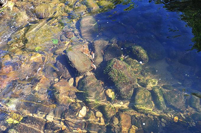 落差工の下流の石はやや大きめの石が目立ち、微細な砂や泥は賀呂川に比べて少ない。また、ドロ水が流れる量が少ないのか、石の表面には茶色のケイ藻が育ち、緑の苔も見られる。