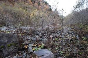 治山ダムの堆砂域は樹林化が進む。