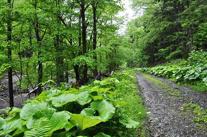 川沿いには林道が続いていた。ヒグマの出そうな川である。