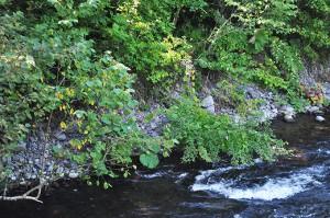 木が倒れたところをよく見ると、川岸の砂利がズリ落ちているのが分かる。これが河床低下を示す兆候だ。
